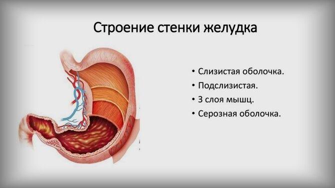 Оболочки стенок желудка