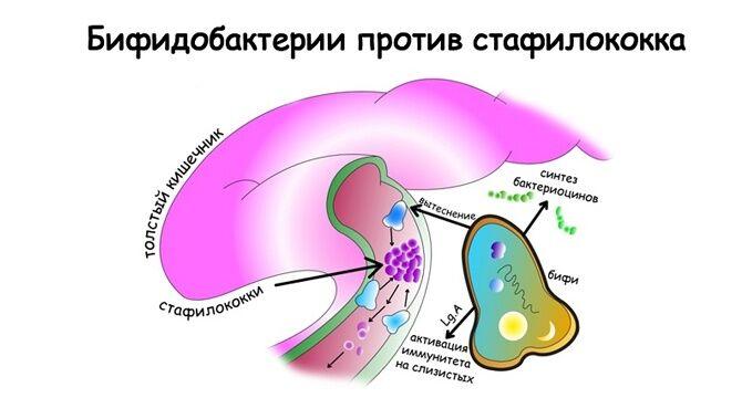 Бифидобактерии против стафилококка
