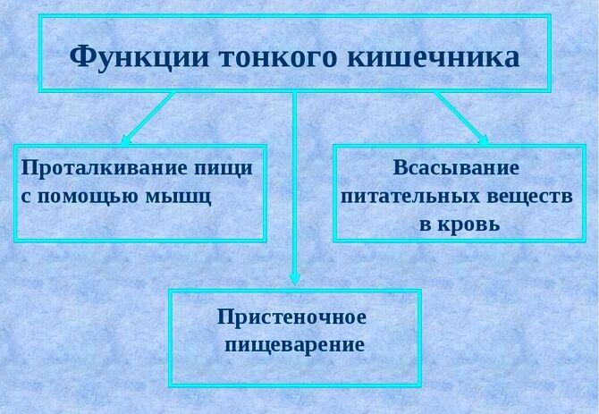 Функции тонкого кишечника